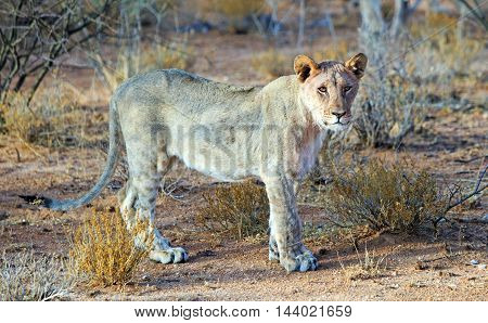 Isolated lion standing and looking in the bush
