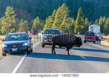 Bison And Tourists