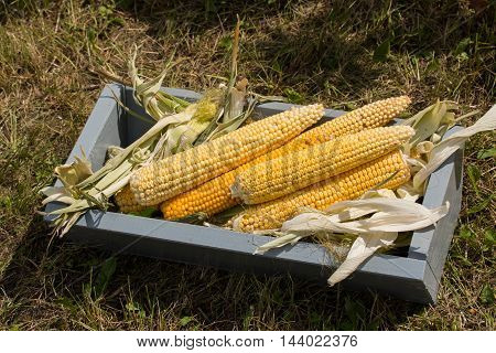 corn cobs lie in a wooden box
