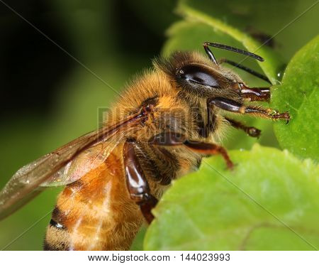 Busy bee collecting nectar from a green garden plant