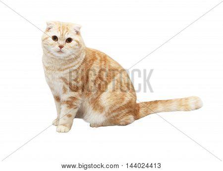 Cream Tabby Scottish Fold cat on white background