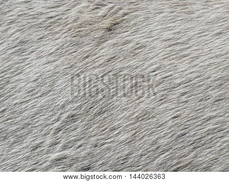 Skin fir of white horse texture background