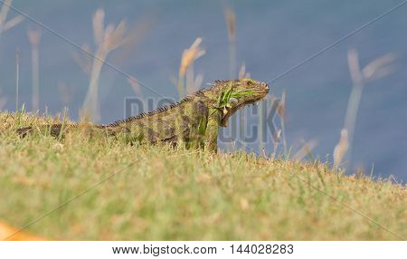 The green iguana of Martinique island, France.