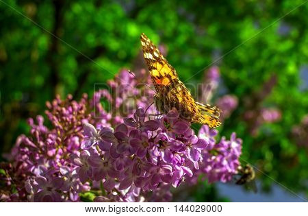butterfly pollinating lilac flower in the blurry background