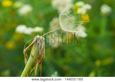 Close-up of a dandelion flower with seeds