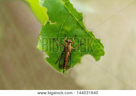 Macro of roberfly on green leaf in forest