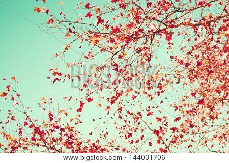 Brown leafs in a tree in autumn over mint sky