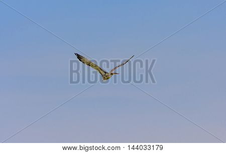 Flying Wild Goose In The Summer