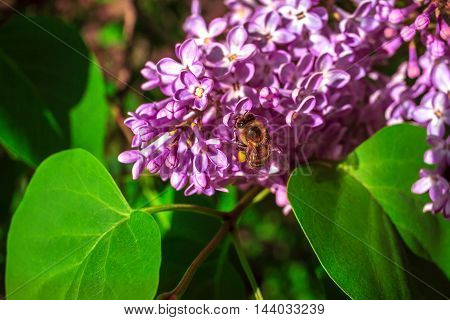 bee pollinating lilac flower in the blurry background