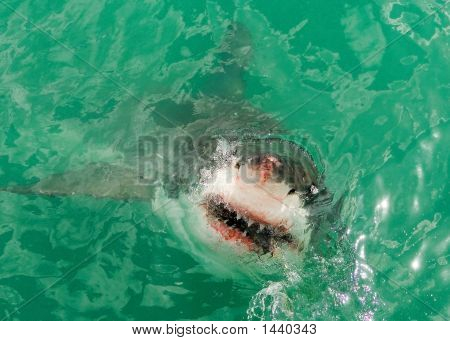 Great White Shark1