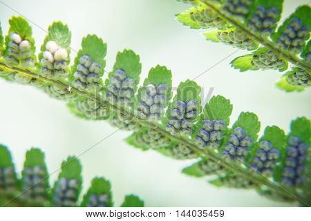 Spores on the green leaves of a fern (macro)