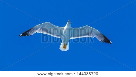 Seagull following boat near Athos Peninsula Mount Athos Chalkidiki Greece
