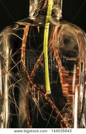 succulent plant roots in a glass bottle studio macro closeup
