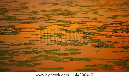 water lilies on the lake at sunset. Shallow depth of field