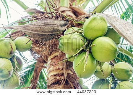 Closer Coconut cluster on Tree of sea sky bright atmosphere. Coconut cluster on tree.