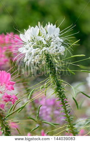 Pink And White Spider flower (Cleome hassleriana) in the garden