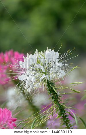 Pink And White Spider flower(Cleome hassleriana) in the garden