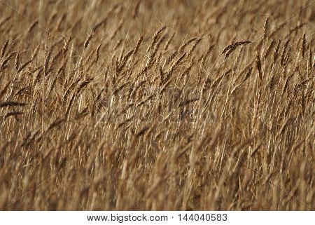 Wheat beautiful Golden Wheat Endless Wheat Ocean of Wheat