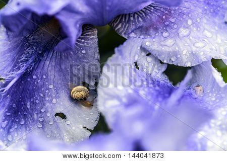 small snail on wet violet iris flower petals outdoor macro closeup