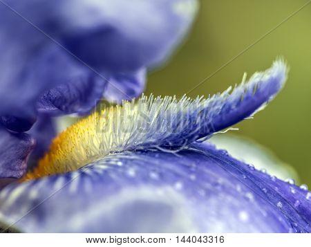 violet and yellow iris flower pistils outdoor macro closeup