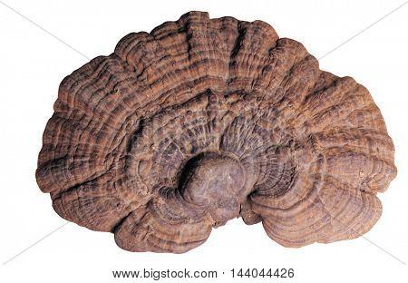 Ganoderma lucidum isolated on white background