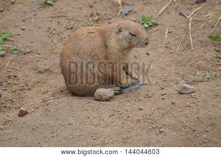 A black-tail prairie dog in the dirt