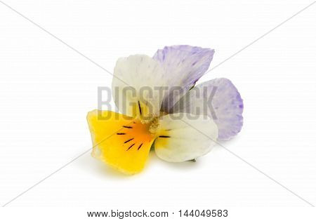 pansy colorful flower isolated on white background