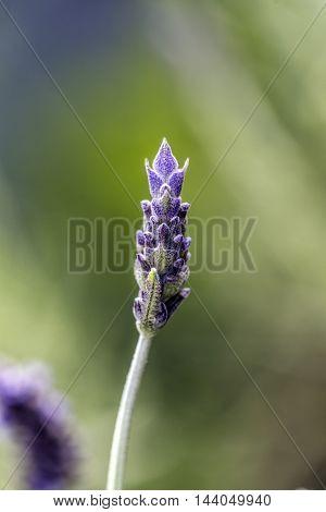 beautiful violet lavander flowers outdoor macro closeup