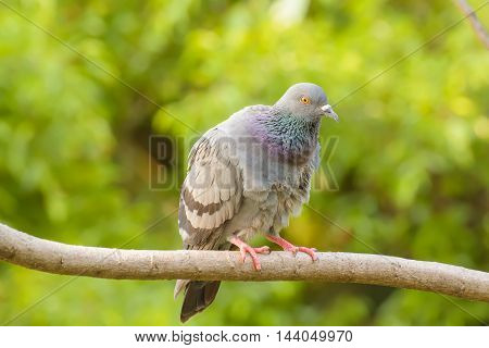 Pigeon On The Branch