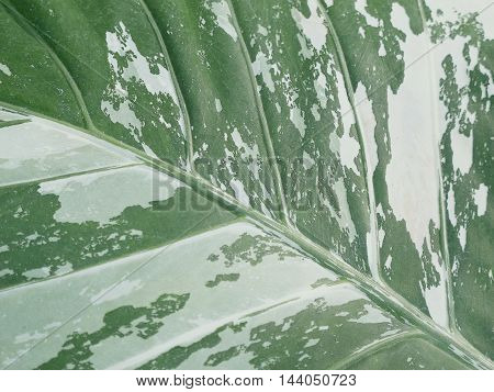 This leafy abstract of a plant growing in a botanical conservatory is a native of tropical Asia genus Alocasia sp. from the family Araceae.