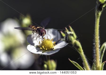 Big compound eyes insect flying on a white strawberry flower