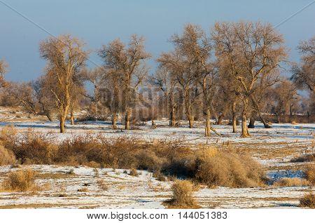Turanga Relict Trees In The Winter, The River Or Kazakhstan. Kapchagai Bakanas,