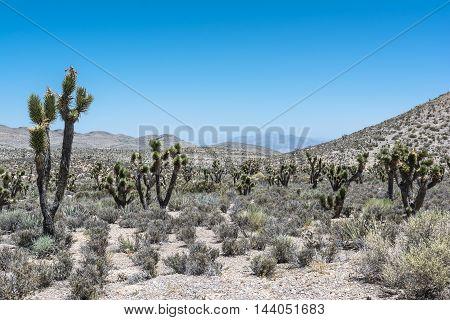 Joshua trees along Harris Springs road in Mount Charleston, Nevada