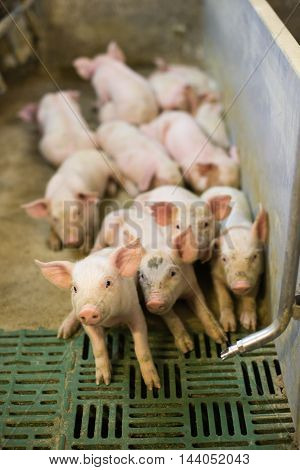 pigs in pig sty on arganic farm