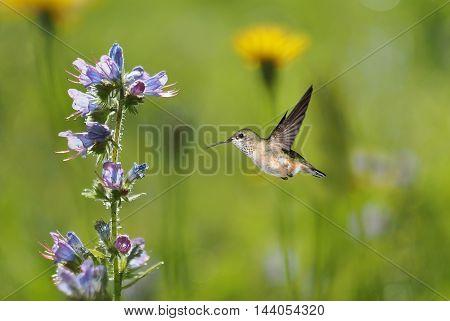Hummingbird over blurred green summer background with wild purple flowers