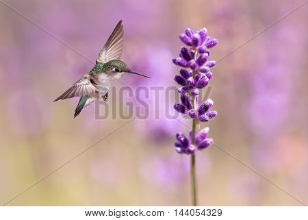 Hummingbird with lavender flowers over bright background