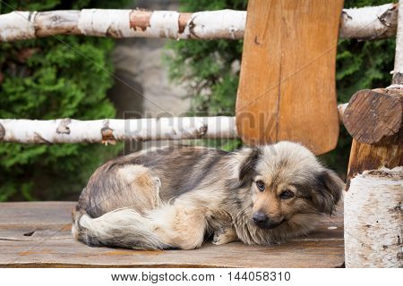 Homeless dog is lying on the wooden bench.
