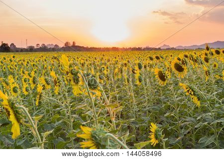 Landscape beautiful sunflowers in spring field, Thailand