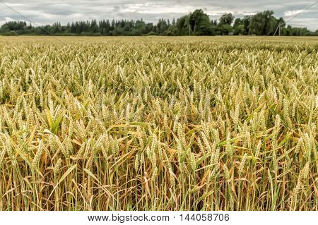 Gold Grains In Fields