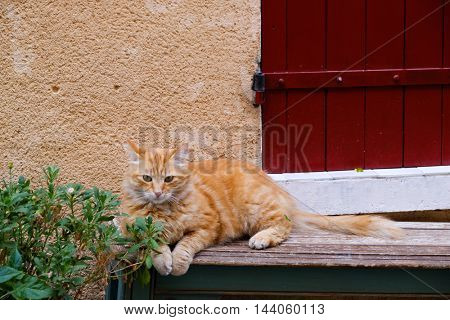 Red cat lying portrait outdoors