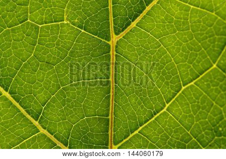 burdock leaf texture abstract, macro, curative, chlorophyll, flora