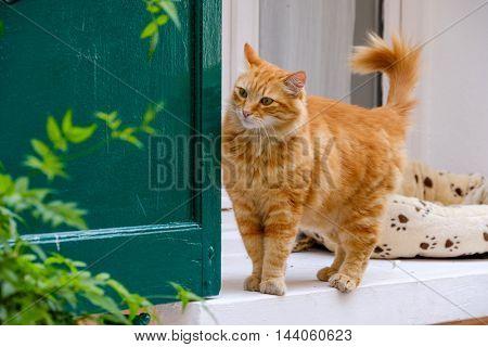 Red cat walking portrait outdoors
