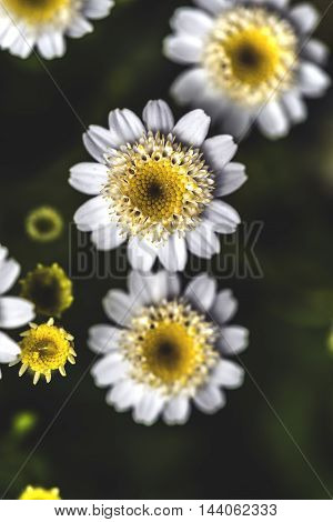 small round white and yellow flowers outdoor macro closeup