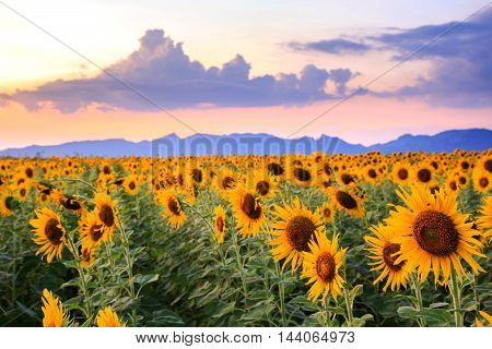 beautiful landscape sunflowers in spring field, thailand