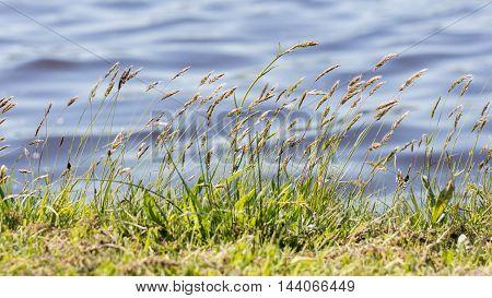 Prairie grass waterside grass at a dutch lake