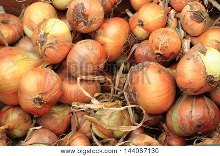 Fresh Onion Background