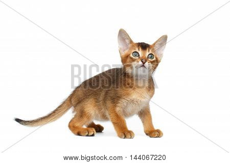 Abyssinian Kitty with interest Looking up on Isolated White Background
