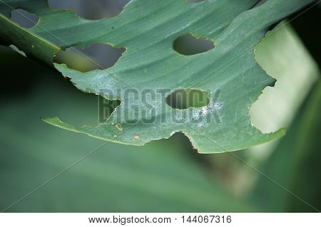 Close up green leaf of Yellow Canna flower