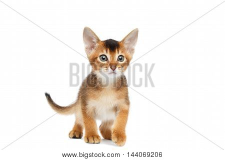 Playful Abyssinian Kitty Standing on Isolated White Background, Front view, with little tail