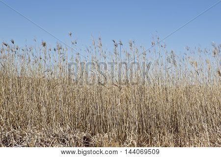 long stems of flowering dry grass with a blue sky background